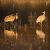 Sandhill Cranes in the Morning Light