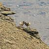Bighorns on a Ledge