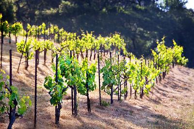 Vineyards 3 copy