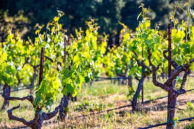 Vineyards 5