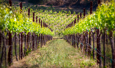 Vineyards 1
