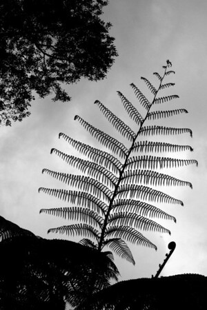 B&W giant fern leaf