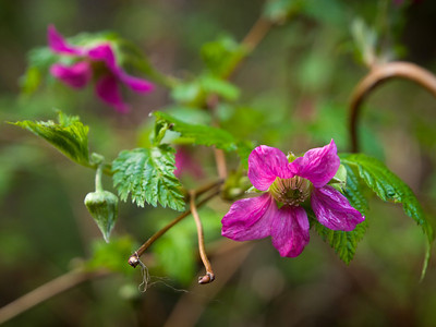 Salmonberry flowers. The berries are some of the earlier ones to ripen, perhaps in Mid July depending on location. April 22, 2010.