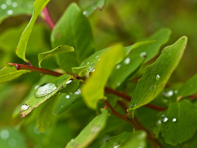 Water drops on blueberry leaves.