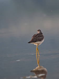I need to consult a bird expert on this one. I believe it's a yellowlegs, and I love the reflection. Missing is the long beak for grabbing little fish and bugs, hidden by the head. Taken in the Mendenhall Game Refuge, July 27, 2009.