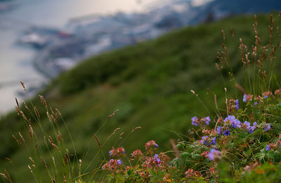 A few alpine flowers overlook downtown Juneau, not far up the trail from the tram. July 19th, 2010.