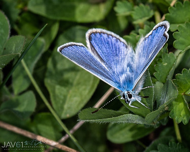 Male Common Blue - Polymmatus Icarus