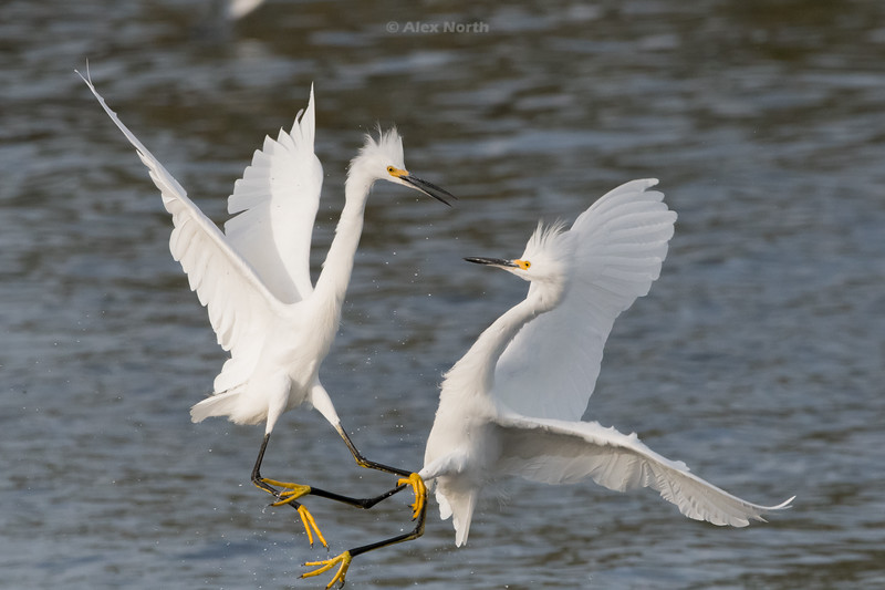 Birds-WhiteEgretKungfu