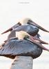 Birds-Pelicanlayer5x71217