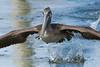 Birds-PelFlt0118