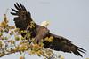 Birds-BaldEagleBiloxi
