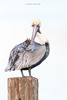 Birds-PelicanWU