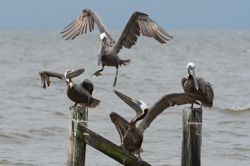 Birds-PelicansPlay
