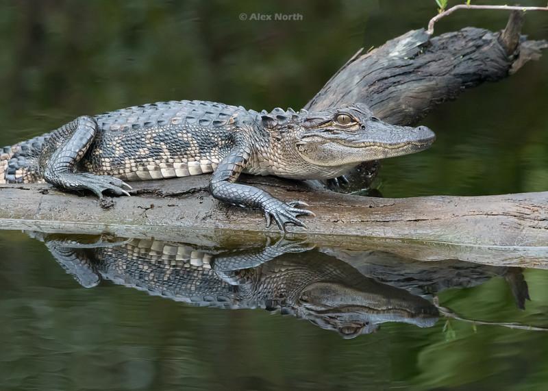 Gator-BabyGINS1
