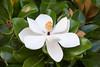 Flower-Magnolia1