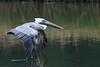 Birds-PelicanFltwingtip-16