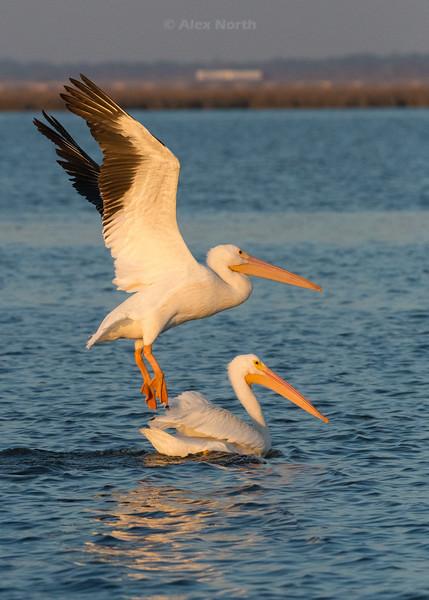 birds-WhitePelicanV