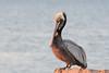 Birds-PelicanLB