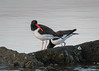 Birds-OysterCatcher2117