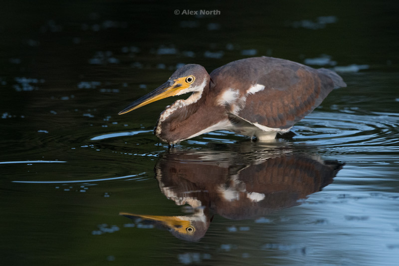 Birds-Tricolorhunt