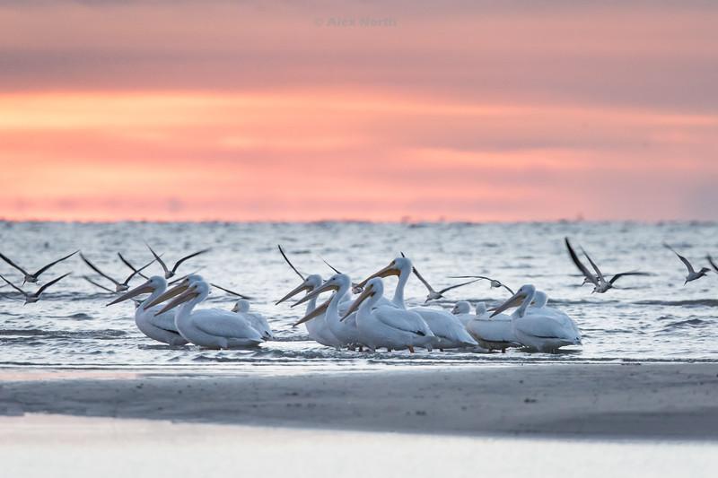 Birds-WhitePelicans2