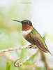 HummingBirdBBMale1