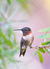 Birds-HBMale1