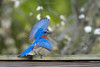 Birds-EasternBBDance217