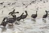 Birds-PelicansPC1