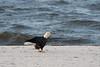Birds-BaldEaglebeach