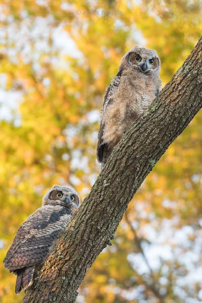 Birds-OwlBabies2V-Edit