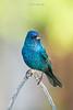 Birds-IndigoB1