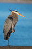 Birds-BlueHeron1