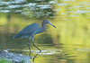 Birds-LittleBlue20171