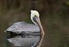 Birds-PelicansFBY