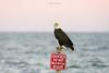 Birds-Baldeaglesign