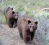 A trio of bear apporaching Bear Lake road in Rocky Mountain National Park in September 2011.