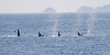 A pod of Orca killer whales on patrol in the Gulf of Alaska outside of Steward in August 2010.