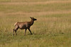 A cow elk crossing a meadow near the west entrance to Yellowstone National Park in August 2013.