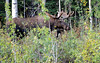 A bull moose on the road to the Eagle River Nature Center just outside of Anchorage, Alaska in August 2010.