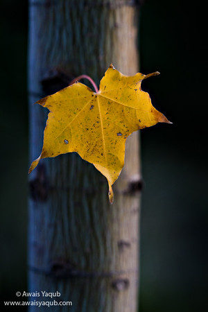 The last leaf  You can purchase print of this picture through this website, which serves as online art auction ships across the world. Makes excellent gift for your loved ones. Money back guarantee
