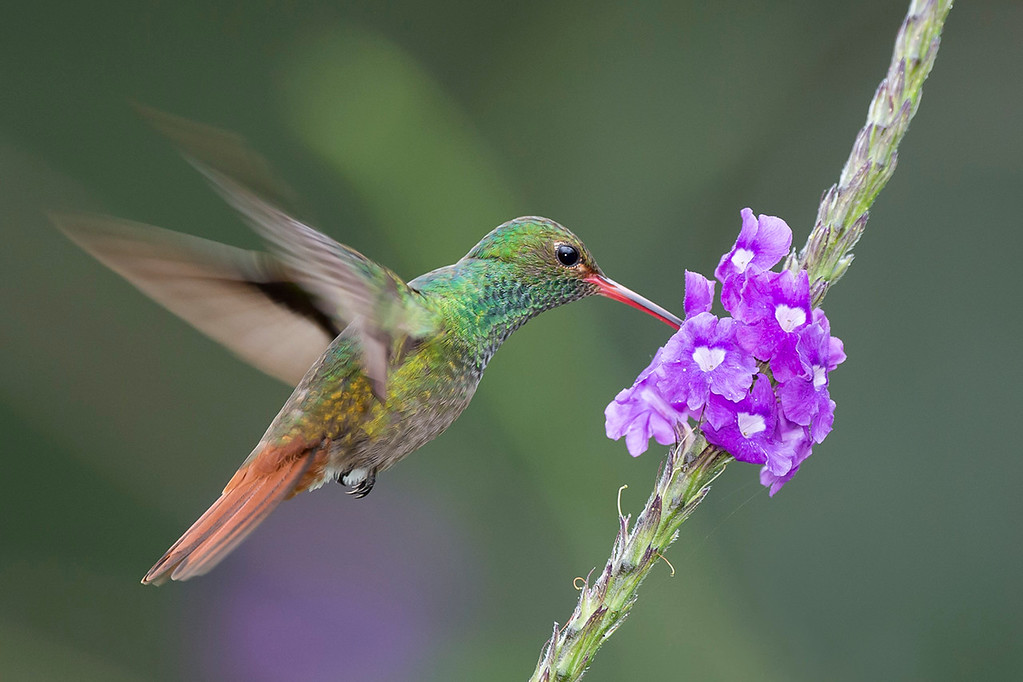Rufous tailed hummingbird