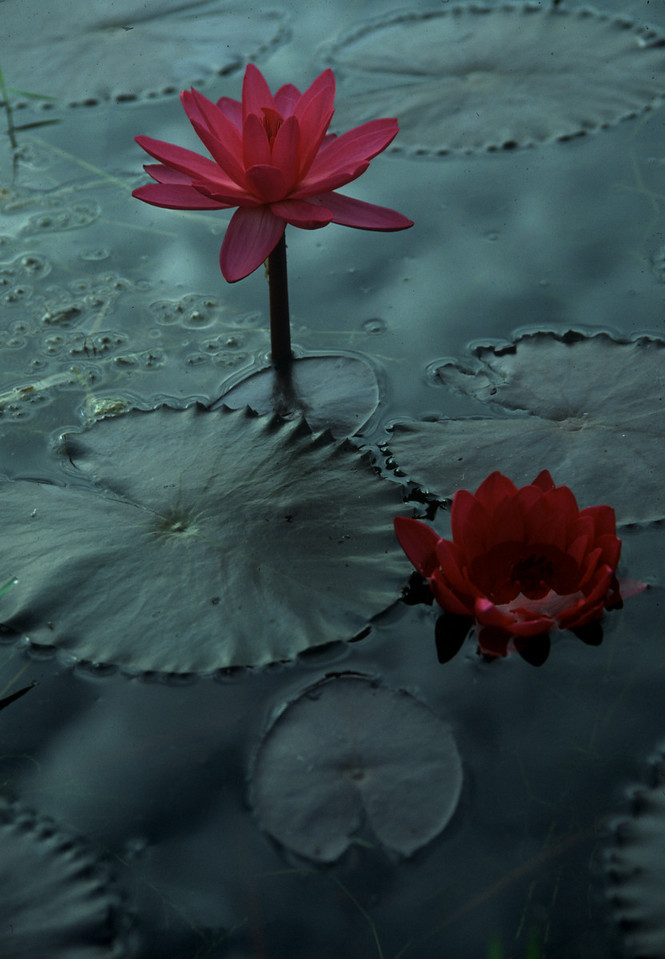 Burmese Blossom - Myanmar