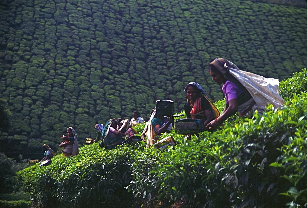 Tea Plantation - Southern India