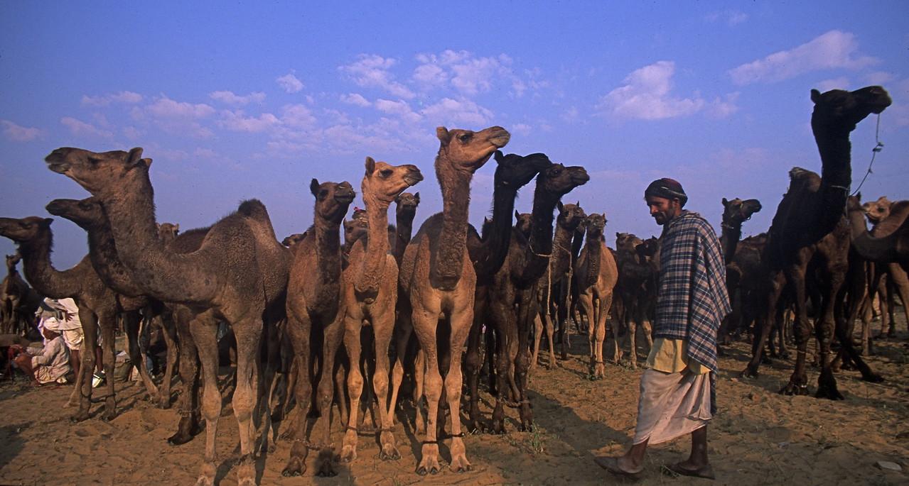 Camels - Pushkar Camel Fair