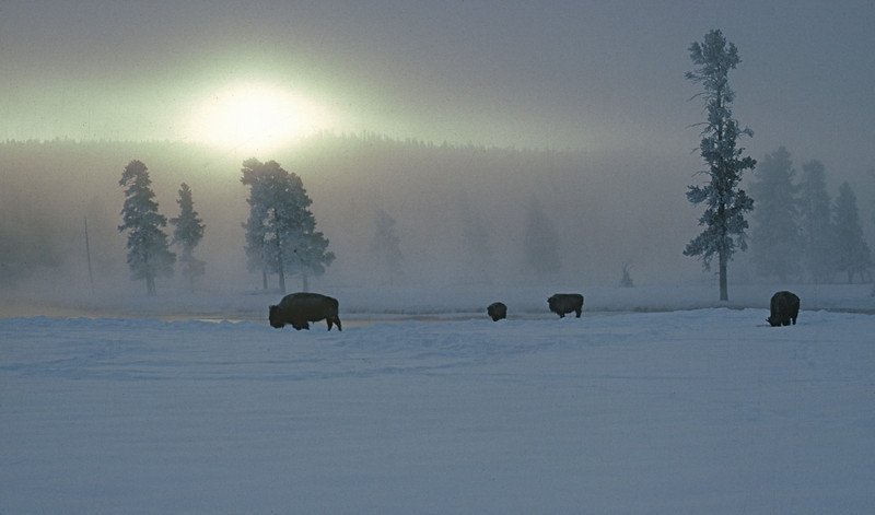 """Cold Morning"" - Yellowstone in winter"