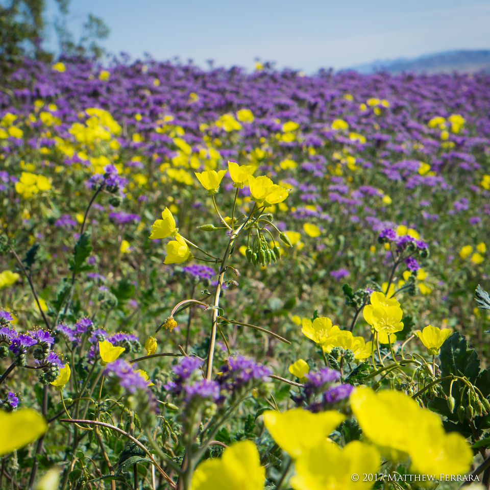 Fleur de Desert