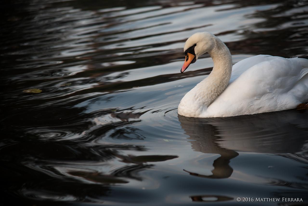 Swan, Brugge, Belgium