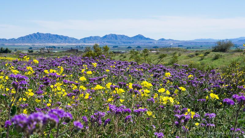 Desert Blooms, Arizona