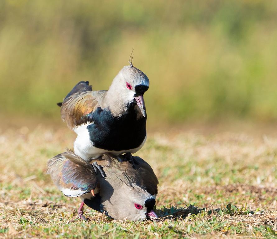 Southern Lapwings